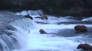 カトマイ国立公園のクマの鮭狩りが見れるライブカメラ/アメリカ アラスカ州