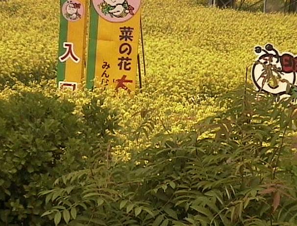 青森県(横浜町):菜の花のライブカメラ