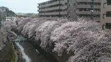 大岡川桜並木ライブカメラと雨雲レーダー/神奈川県横浜市