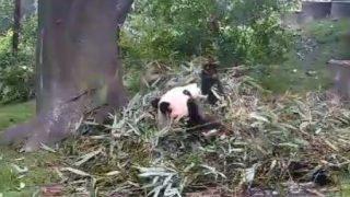 成都パンダ繁育研究基地ライブカメラ/中国四州