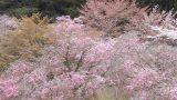 あきつの小野公園の桜ライブカメラと雨雲レーダー/奈良県川上村