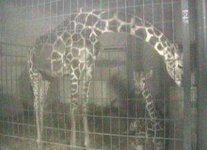 長野県(長野市):茶臼山動物園(キリン)のWebカメラ